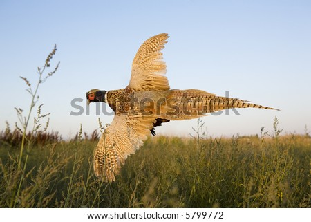Ringneck Pheasant flying in the field at sundown
