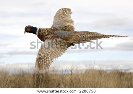 Ringneck Pheasant in flight - stock photo