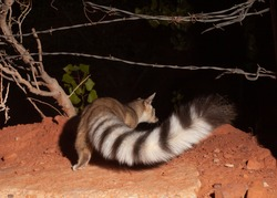 Ringtail cats are in the same family as Raccoons but are smaller with tails as long as their bodies. They have large eyes and ears which help them navigate in the dark and are a shy nocturnal species.