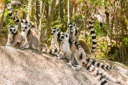 ringtail lemur family in sunrise sunlight in natural habitat isalo madagascar