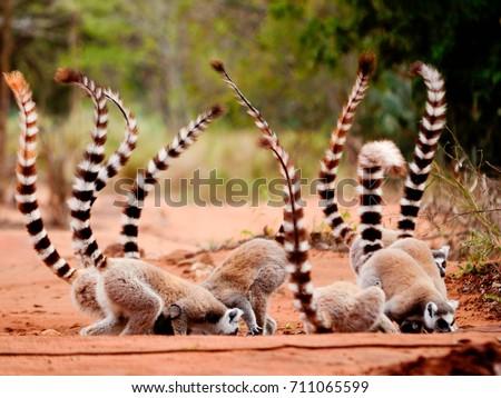 Ringtailed lemur, Lemur catta, eating soil in Berenty reserve Madagascar