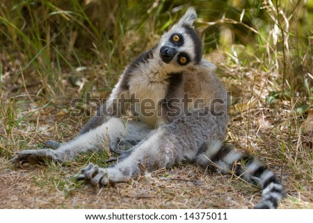 Ringtailed Lemur (Lemur catta). Vulnerable and endemic to Madagascar. Antananarivo Lemur Park, Madagascar.