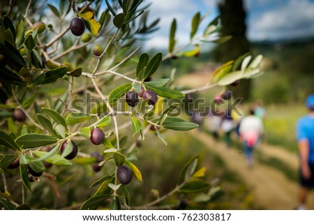 Riparbella, Livorno, Italy - October 05, 2017 - Olive branch walking along the hills rich in vineyards, olive groves, cork oak trees, in the area of Riparbella, Tuscany