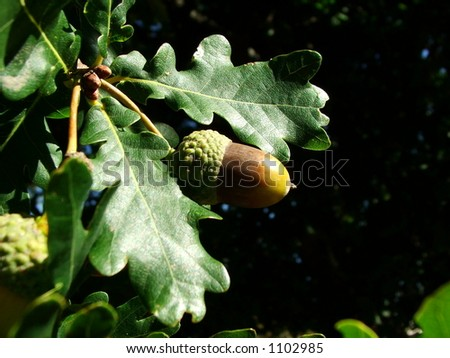 Ripe acorn on oak tree
