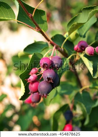 Ripe amelanchier berries on bush #454878625