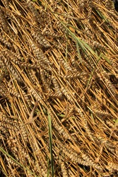 Ripe and golden wheat grains on their stems. Close-up with fallen cereal ears. Wind damage and losses in agriculture. Texture of cereal straw, diagonal lines pattern. Raw material for bread.