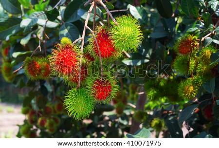 Ripe and green rambutan growing in garden / colorful red fruit at tree / fruit trade products/gardening of rambutan