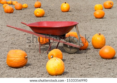 Ripe and over ripe pumpkins on a dirt field with a red wheel barrow. Self picking pumpkin farm. #1533356990