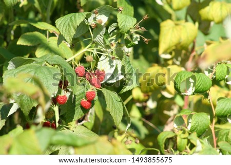 Ripe and ripe raspberries on the branches of a bush