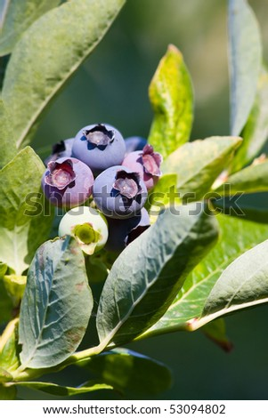 Ripe and ripening blueberries nestled on a leafy bush