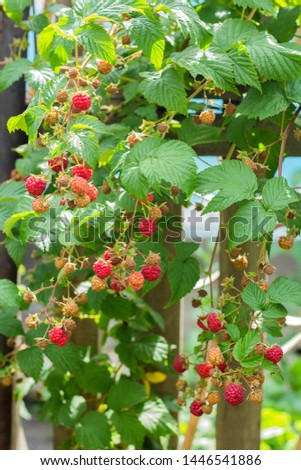 Ripe and soon ripe raspberries on a branch of a raspberry Bush in the garden on the background of a picket fence, rural view #1446541886