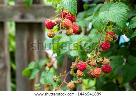 Ripe and soon ripe raspberries on a branch of a raspberry Bush in the garden on the background of a picket fence, rural view