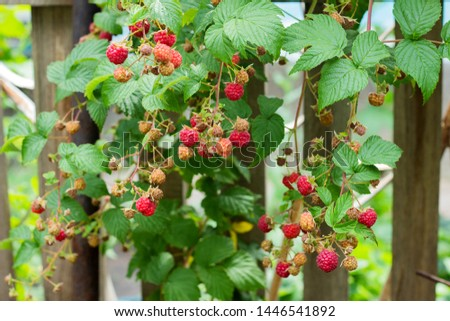 Ripe and soon ripe raspberries on a branch of a raspberry Bush in the garden on the background of a picket fence, rural view #1446541892