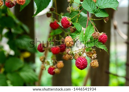 Ripe and soon ripe raspberries on a branch of a raspberry Bush in the garden on the background of a picket fence, rural view #1446541934