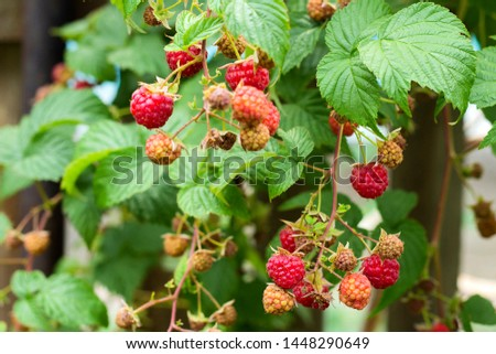 Ripe and soon ripe raspberries on a branch of a raspberry Bush in the garden on the background of a picket fence, rural view #1448290649