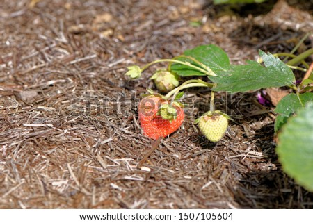 Ripe and soon-to-be-ripe strawberries on a strawberry plant