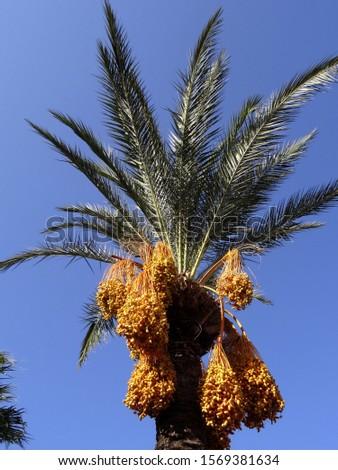 Ripe and un ripe dates on a date palm tree in Yalikavak, Bodrum, Turkey.                                 #1569381634