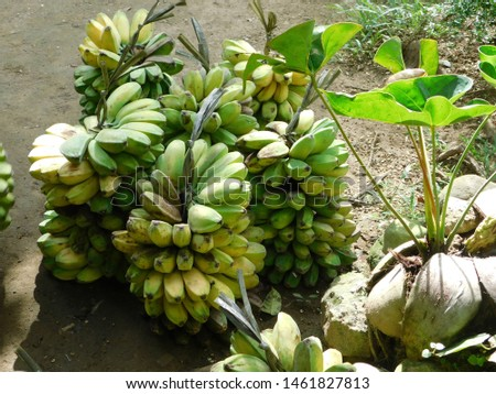 ripe and unripe bananas for sale
