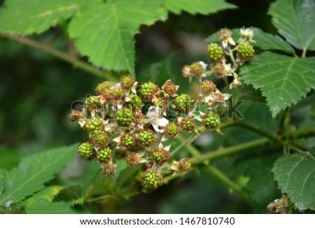 Ripe and unripe blackberries. Wild fruits blackberries on a branch. Unripe blackberry on a shrub. Blackberry prickly bush. Green blackberries on a shrub. Blackberry flowering bush. Black and red fruit #1467810740