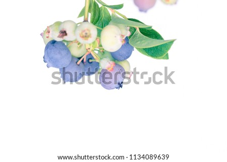 Ripe and unripe blueberry cluster on a blueberry bush isolated on white.