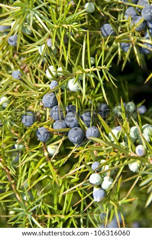 Ripe and unripe juniper berries on a branch with needle-leaves