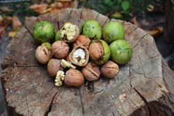 Ripe and unripe walnuts on the tree stump. Fruits of a walnut. Green unripe and ripe walnuts. Raw walnuts in a green nutshell.