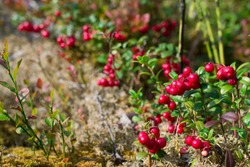 Ripe and very beautiful branches of cowberries, cranberries, lingo berries in a natural forest - perfect autumn theme