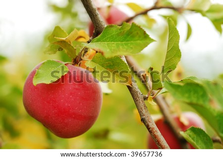 Ripe Apple in an Orchard