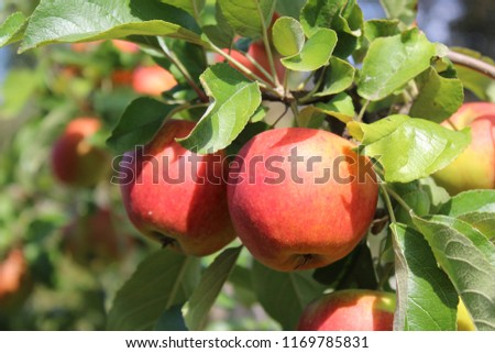 ripe apples on a apple tree
