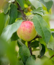 Ripe apples on the branches of a tree in summer. Harvest in the garden.
