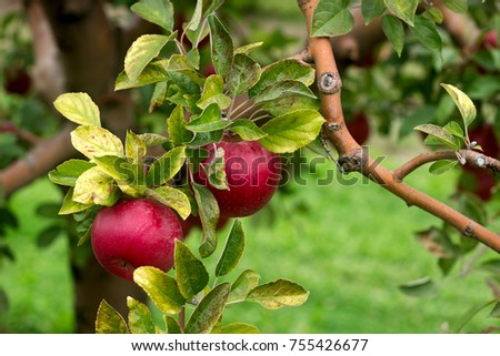Ripe apples on the branches of a tree in the garden. Selective focus. Selective focus. #755426677