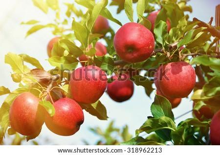 Ripe apples on the tree Stock foto ©