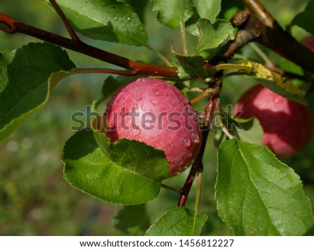ripe apples with raindrops on a branch with green leaves on a Sunny summer day. natural vitamin. healthy food. vegetarian food. apple orchard. fruit tree