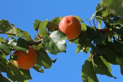 Ripe apricot tree branch, ripe apricot in summer, Italy