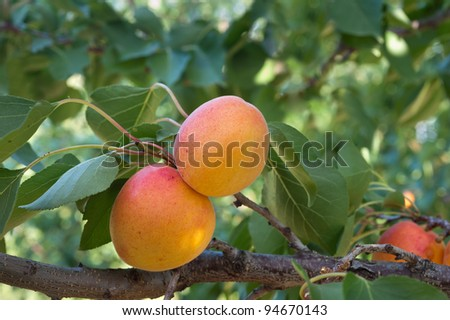 Ripe apricots on a green branch