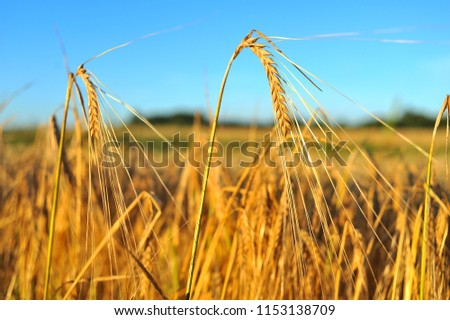 Ripe barley, barley field in the background of sunset, golden barley, ears of barley #1153138709