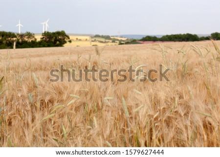 Ripe barley, barley field in the background wind energie