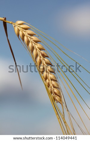 ripe barley ear, against blue sky with clouds