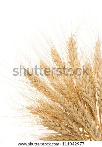 ripe barley ears isolated on white background