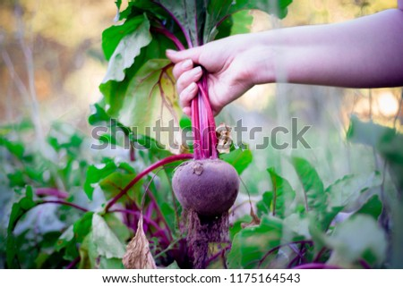 Ripe beets grow on the bed