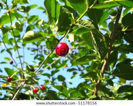 Ripe berries on a cherry-tree in orchard against the sky
