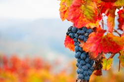 Ripe black grapes on the vine. Selective focus. Douro river valley in Portugal. Autumn nature background