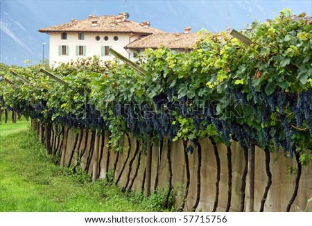 Ripe blue grape clusters on grapevines in Italian vineyard