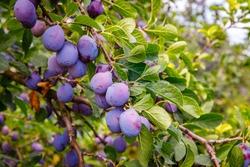 Ripe blue plums in huge plum garden