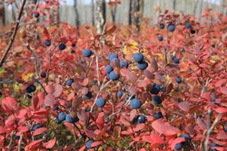 Ripe blueberry berry.  Russia, Buryatia, Bauntovsky district.