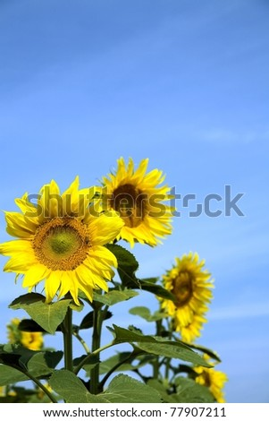 Ripe bright sunflowers growing on a farmer field in the late summer - stock photo