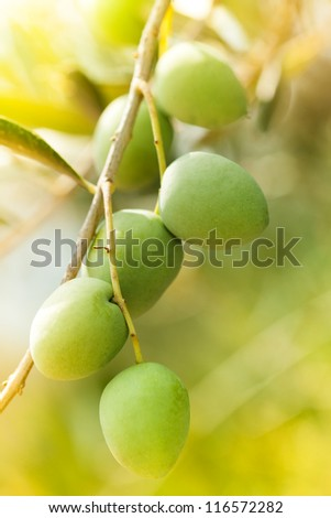 ripe bunch of green olives