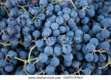 Ripe bunches of grapes as a background. Useful ingredients from the garden.