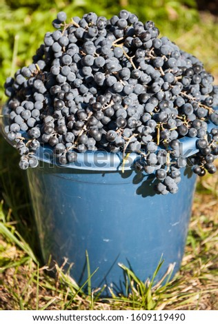 Ripe bunches of grapes in a bucket in the garden. Harvest for wine production.