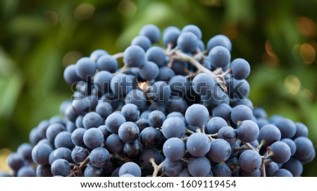 Ripe bunches of grapes in bulk against the background of the garden. Useful health ingredients.